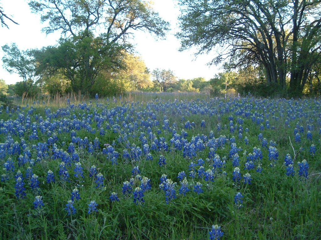 Howard Ranch, Driftwood. Texas Bluebonnets and wildflowers